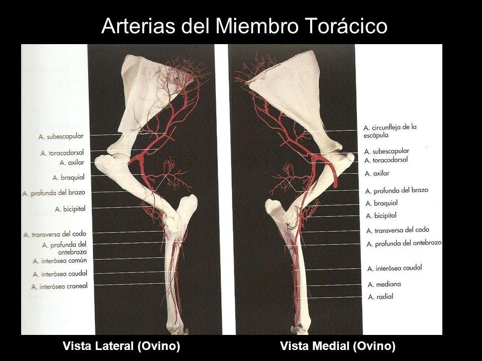 Arterias del Miembro Torácico