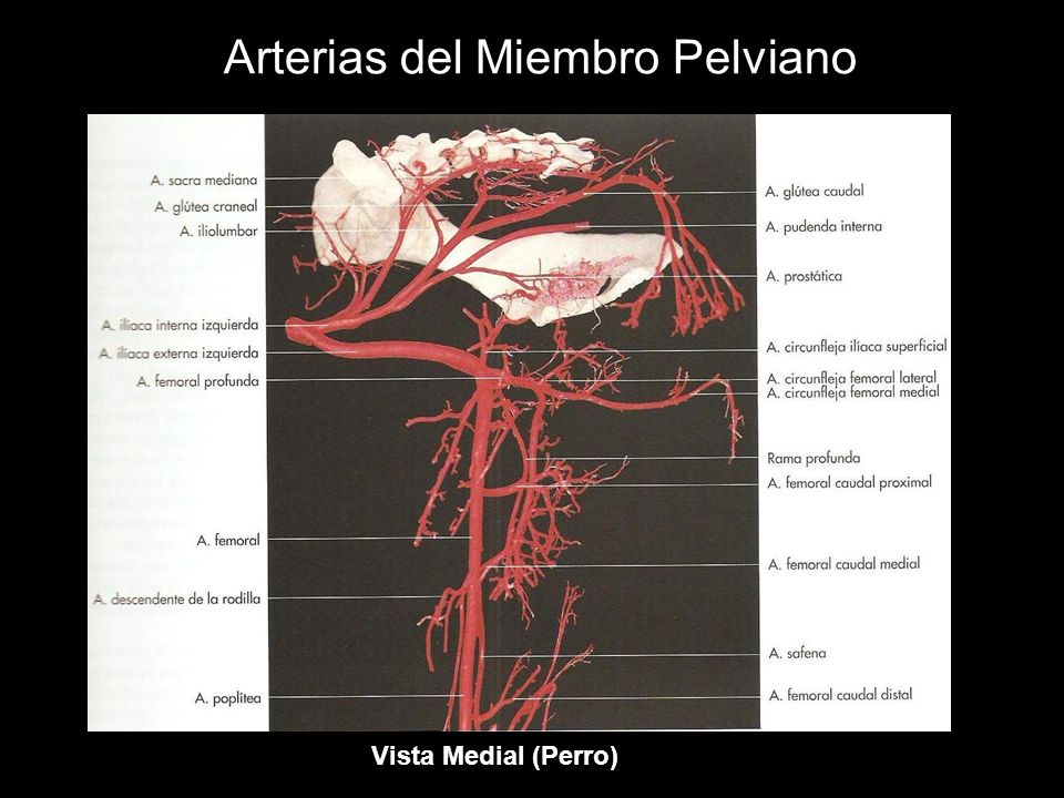 Arterias del Miembro Pelviano