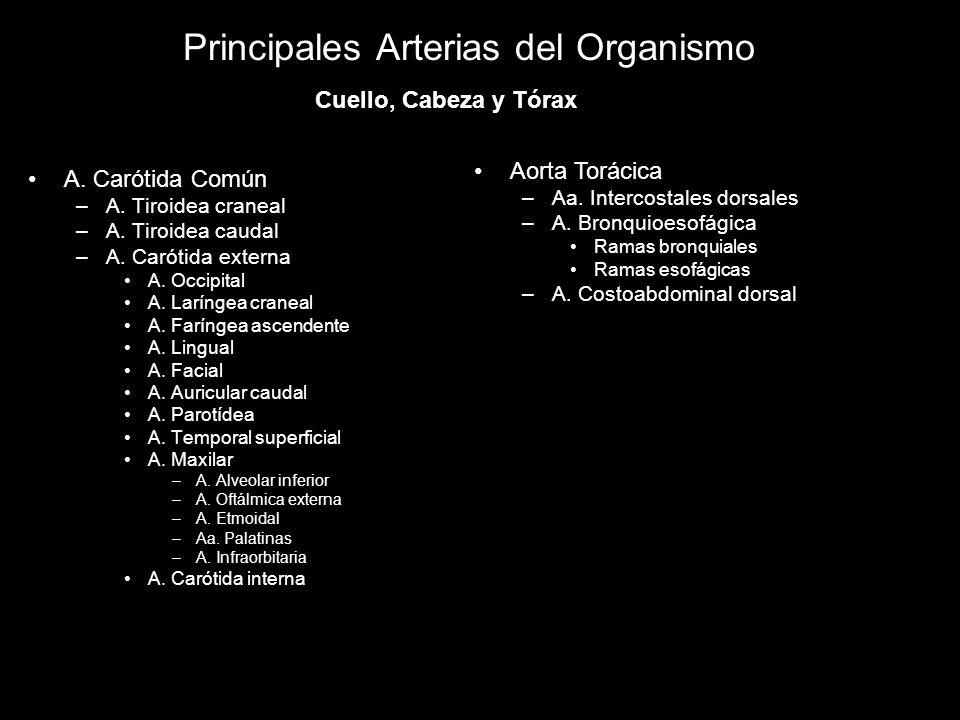 Principales Arterias del Organismo