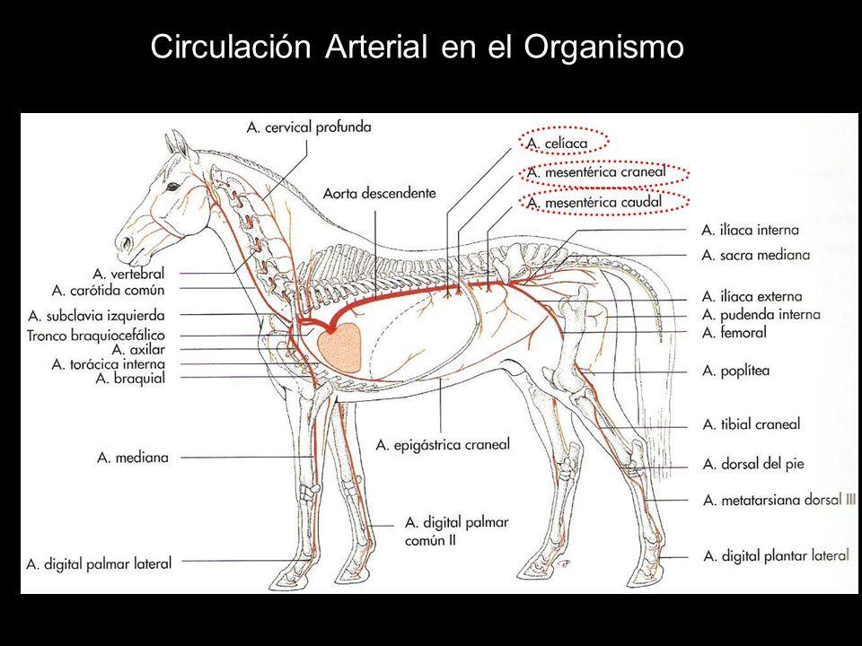 Circulación Arterial en el Organismo
