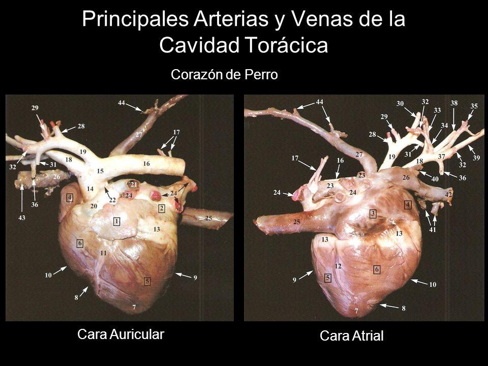 Principales Arterias y Venas de la Cavidad Torácica