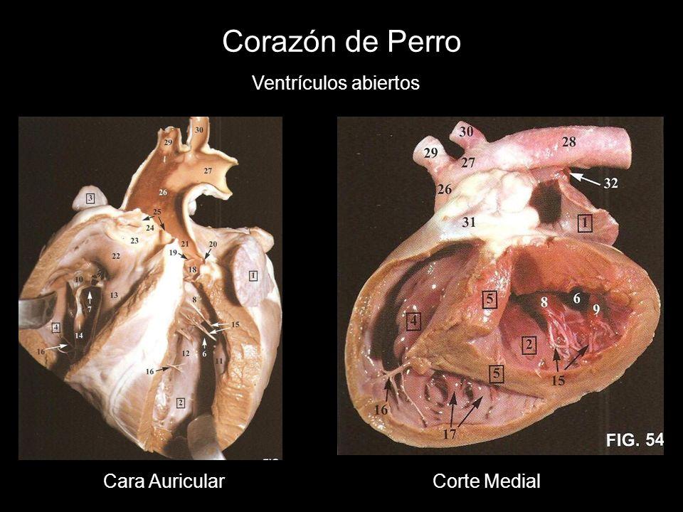 Corazón de Perro Ventrículos abiertos Cara Auricular Corte Medial