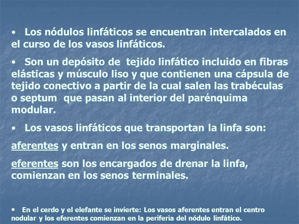 Los vasos linfáticos que transportan la linfa son: