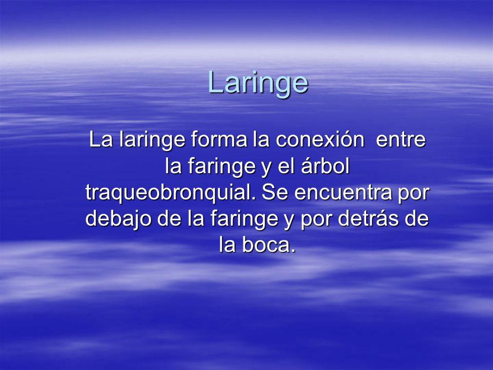 Laringe La laringe forma la conexión entre la faringe y el árbol traqueobronquial.