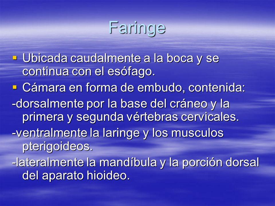 Faringe Ubicada caudalmente a la boca y se continua con el esófago.