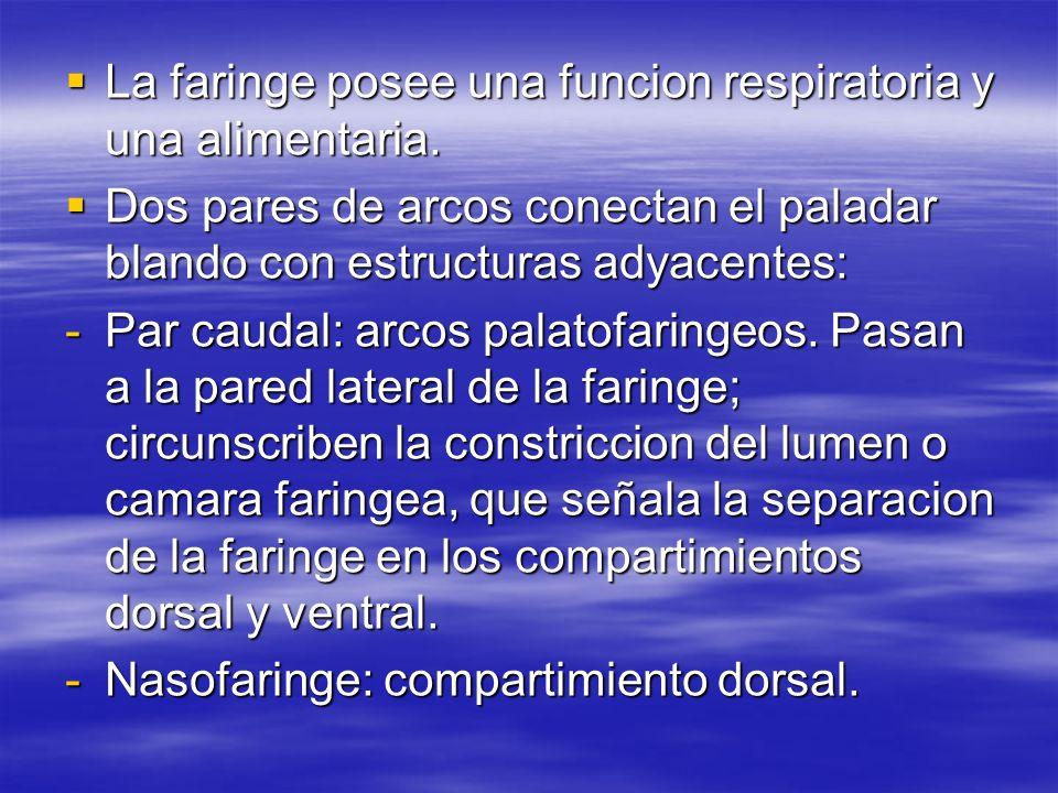 La faringe posee una funcion respiratoria y una alimentaria.