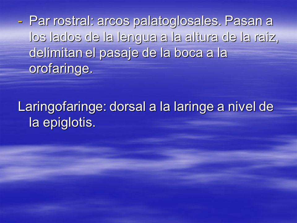 Par rostral: arcos palatoglosales