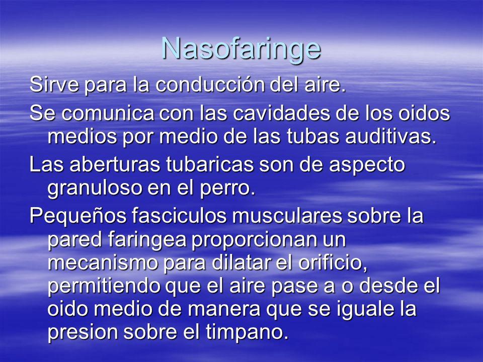 Nasofaringe Sirve para la conducción del aire.