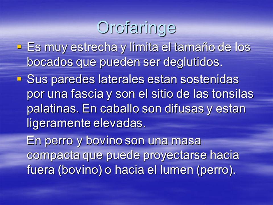 Orofaringe Es muy estrecha y limita el tamaño de los bocados que pueden ser deglutidos.