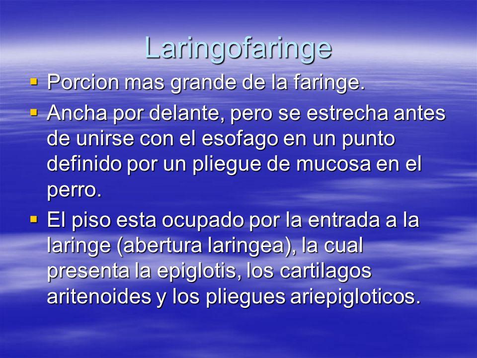 Laringofaringe Porcion mas grande de la faringe.
