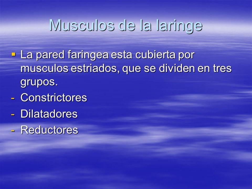 Musculos de la laringe La pared faringea esta cubierta por musculos estriados, que se dividen en tres grupos.