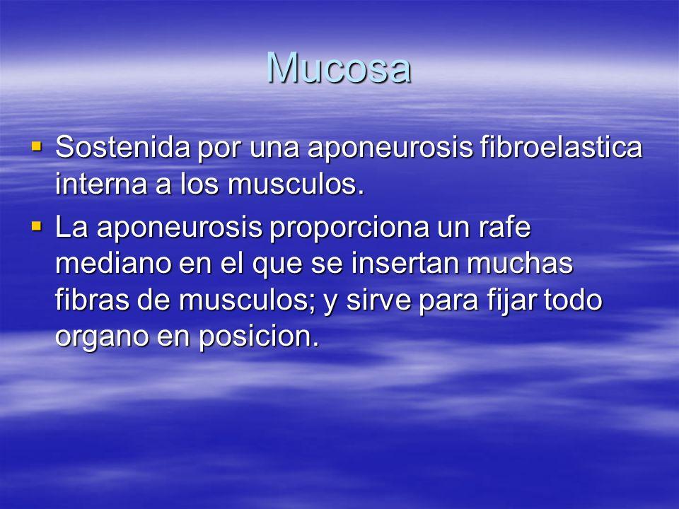 MucosaSostenida por una aponeurosis fibroelastica interna a los musculos.