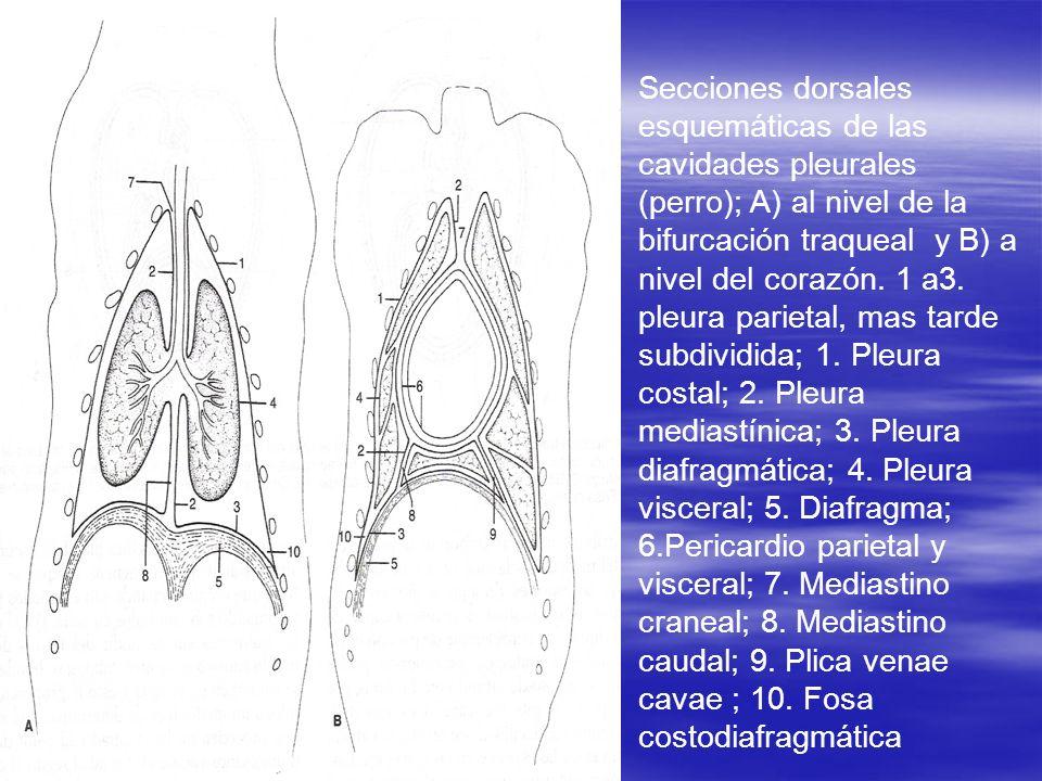 Secciones dorsales esquemáticas de las cavidades pleurales (perro); A) al nivel de la bifurcación traqueal y B) a nivel del corazón.