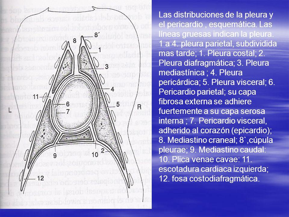 Las distribuciones de la pleura y el pericardio , esquemática
