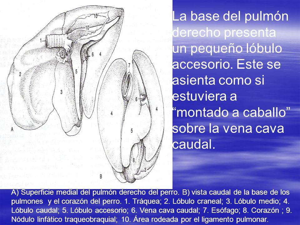 La base del pulmón derecho presenta un pequeño lóbulo accesorio