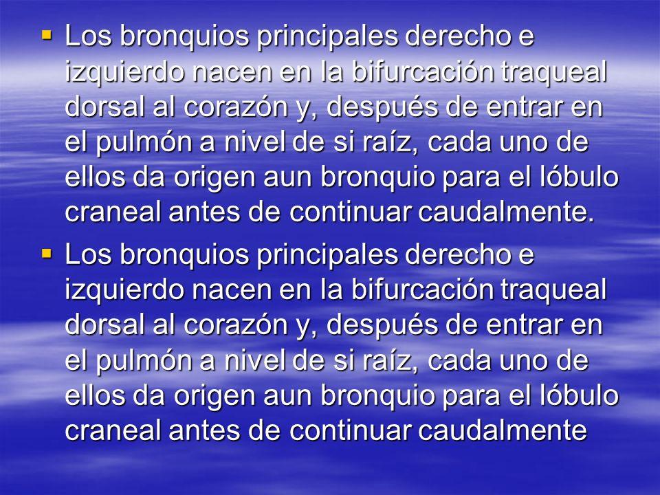Los bronquios principales derecho e izquierdo nacen en la bifurcación traqueal dorsal al corazón y, después de entrar en el pulmón a nivel de si raíz, cada uno de ellos da origen aun bronquio para el lóbulo craneal antes de continuar caudalmente.