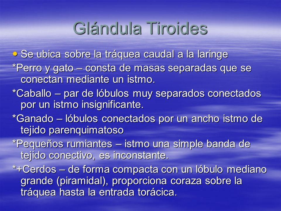 Glándula Tiroides Se ubica sobre la tráquea caudal a la laringe