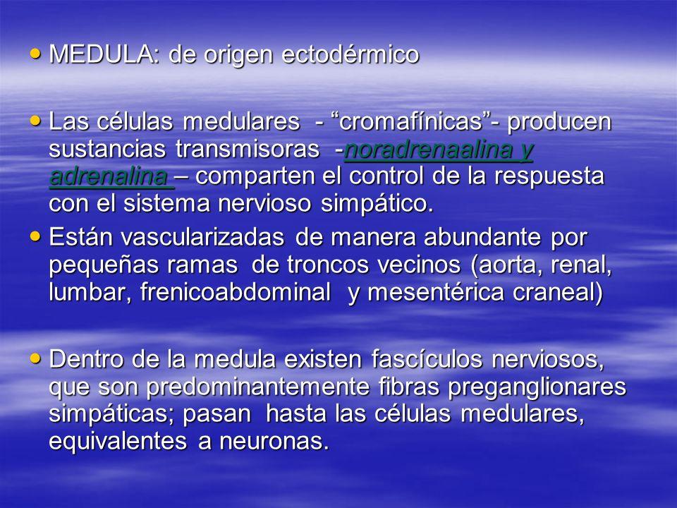 MEDULA: de origen ectodérmico