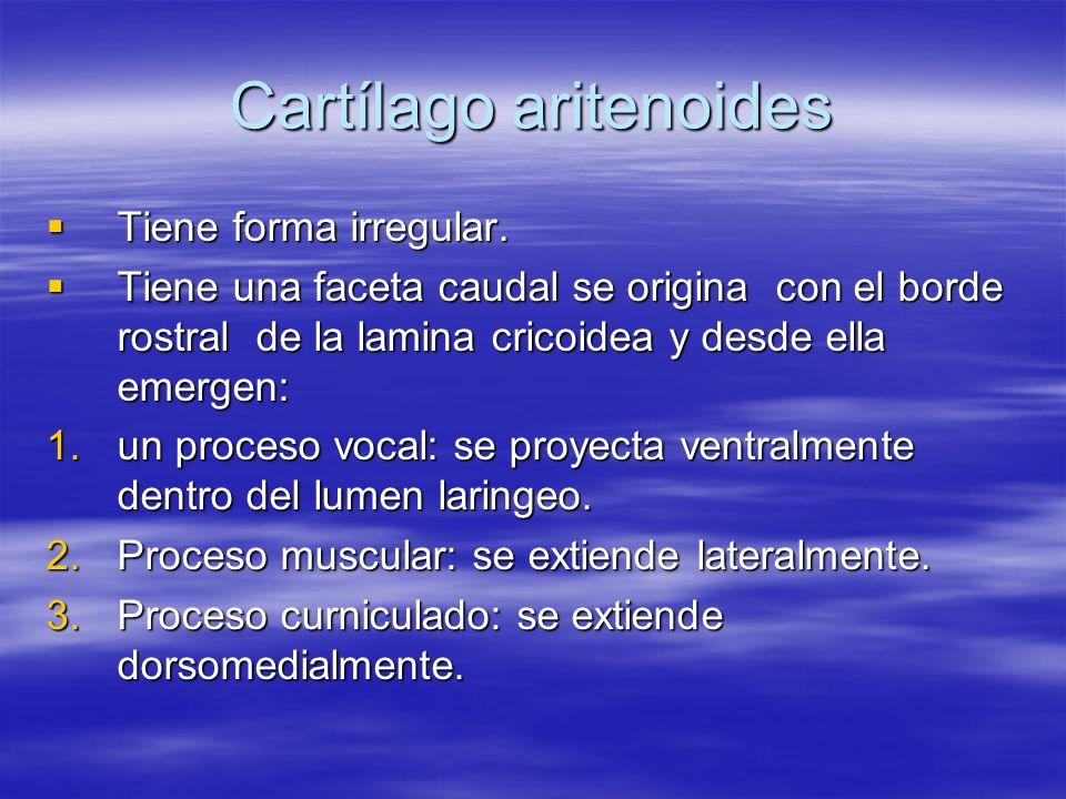 Cartílago aritenoides