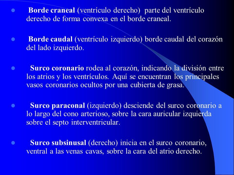 Borde craneal (ventrículo derecho) parte del ventrículo derecho de forma convexa en el borde craneal.