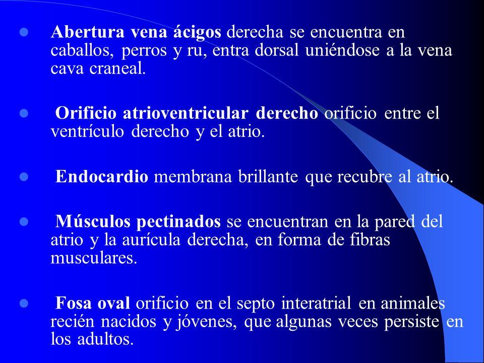 Abertura vena ácigos derecha se encuentra en caballos, perros y ru, entra dorsal uniéndose a la vena cava craneal.