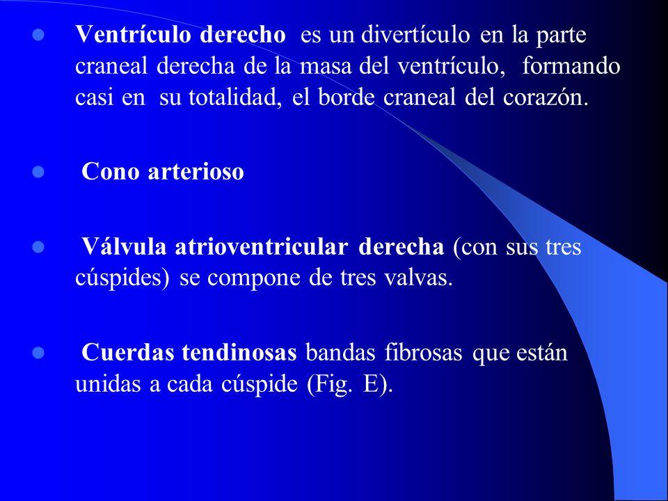 Ventrículo derecho es un divertículo en la parte craneal derecha de la masa del ventrículo, formando casi en su totalidad, el borde craneal del corazón.