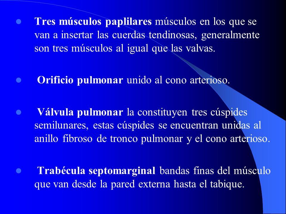 Tres músculos paplilares músculos en los que se van a insertar las cuerdas tendinosas, generalmente son tres músculos al igual que las valvas.