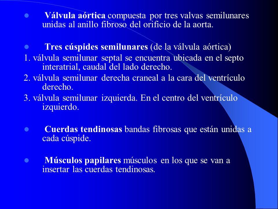 Válvula aórtica compuesta por tres valvas semilunares unidas al anillo fibroso del orificio de la aorta.