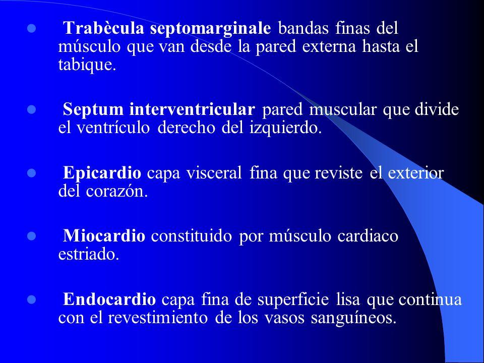 Trabècula septomarginale bandas finas del músculo que van desde la pared externa hasta el tabique.