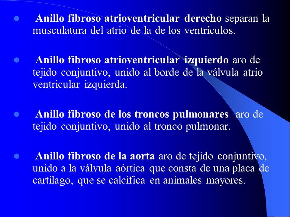 Anillo fibroso atrioventricular derecho separan la musculatura del atrio de la de los ventrículos.