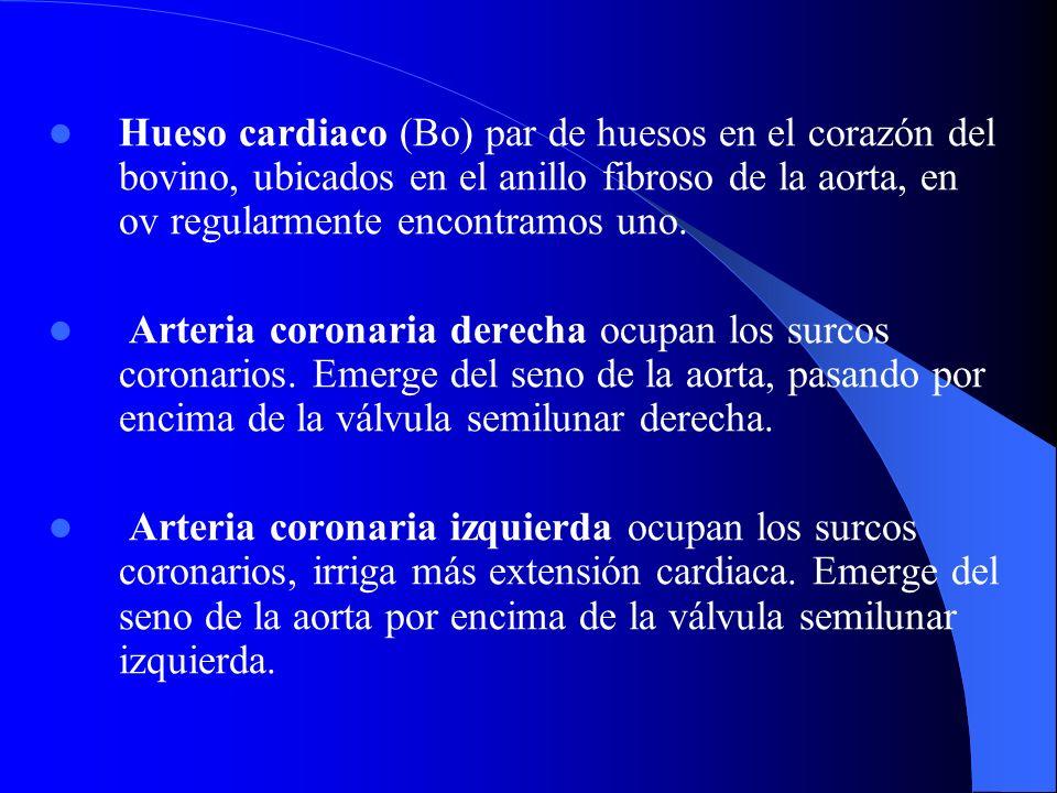 Hueso cardiaco (Bo) par de huesos en el corazón del bovino, ubicados en el anillo fibroso de la aorta, en ov regularmente encontramos uno.