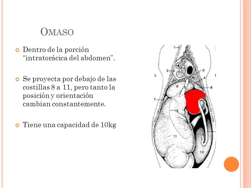 Omaso Dentro de la porción intratorácica del abdomen .
