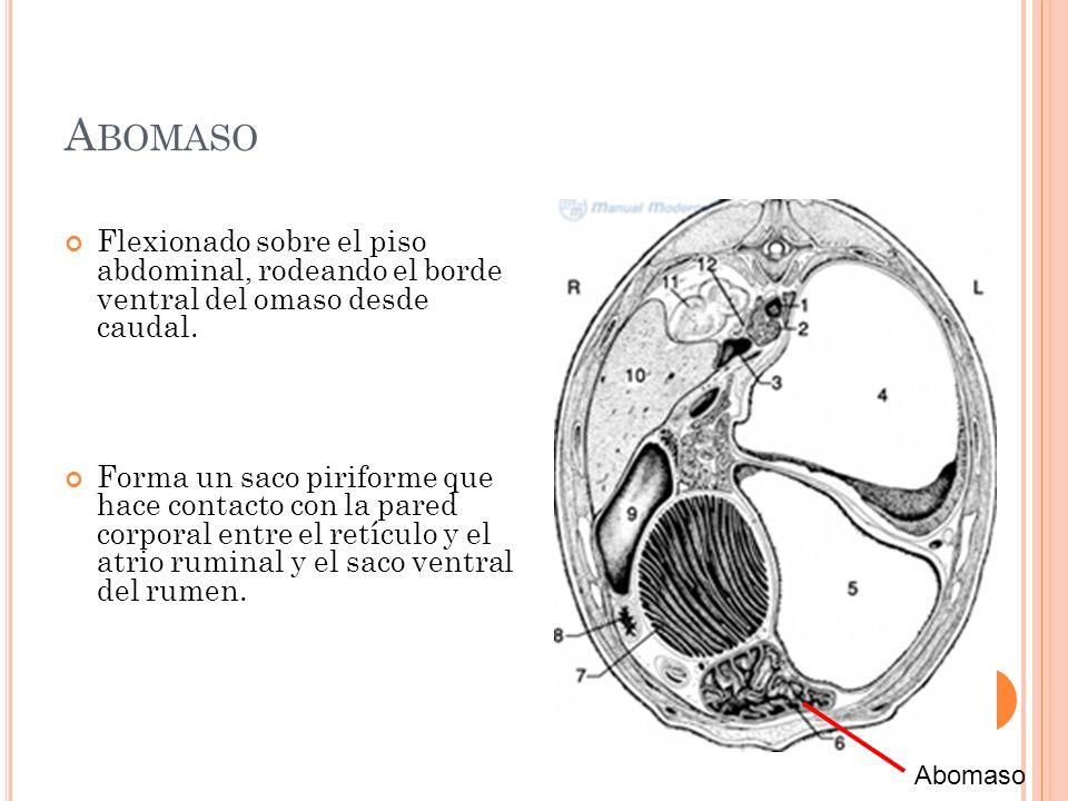 Abomaso Flexionado sobre el piso abdominal, rodeando el borde ventral del omaso desde caudal.