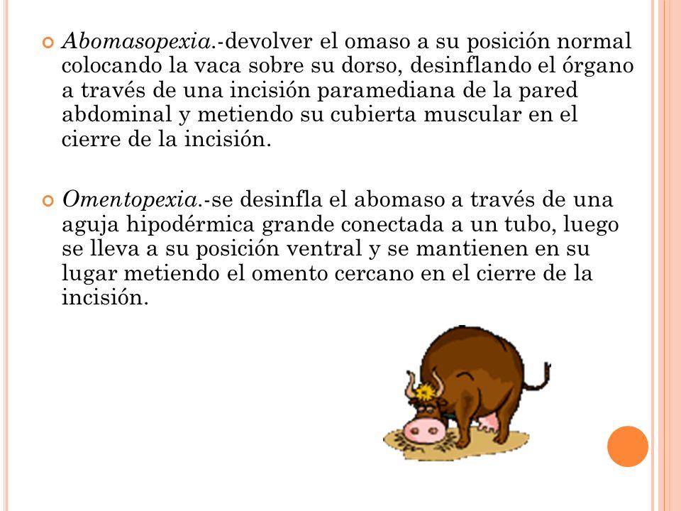 Abomasopexia.-devolver el omaso a su posición normal colocando la vaca sobre su dorso, desinflando el órgano a través de una incisión paramediana de la pared abdominal y metiendo su cubierta muscular en el cierre de la incisión.