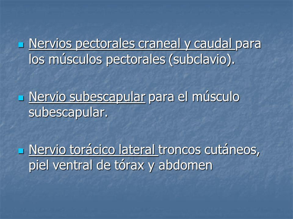Nervios pectorales craneal y caudal para los músculos pectorales (subclavio).