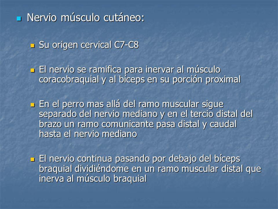 Nervio músculo cutáneo:
