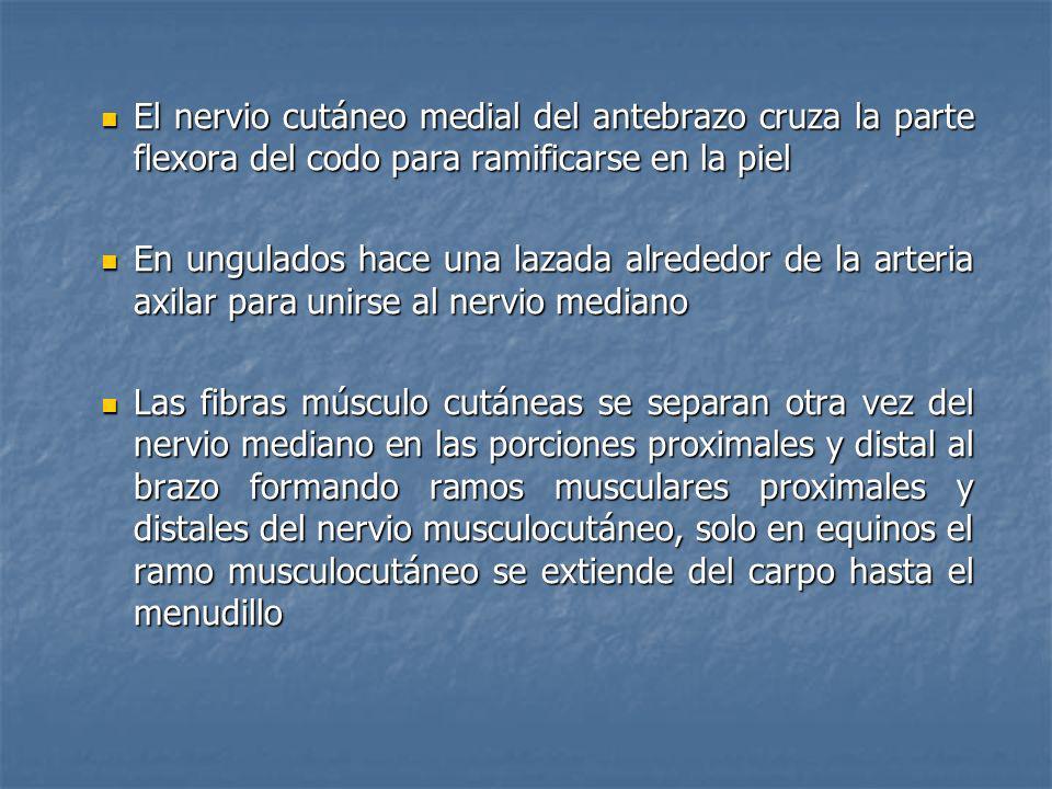 El nervio cutáneo medial del antebrazo cruza la parte flexora del codo para ramificarse en la piel