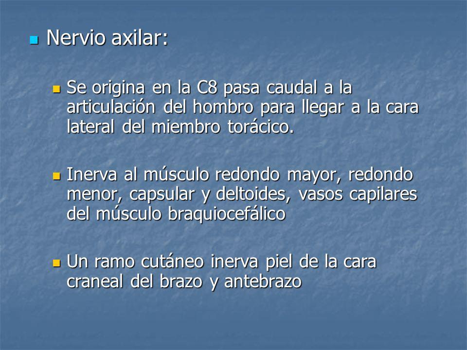 Nervio axilar:Se origina en la C8 pasa caudal a la articulación del hombro para llegar a la cara lateral del miembro torácico.