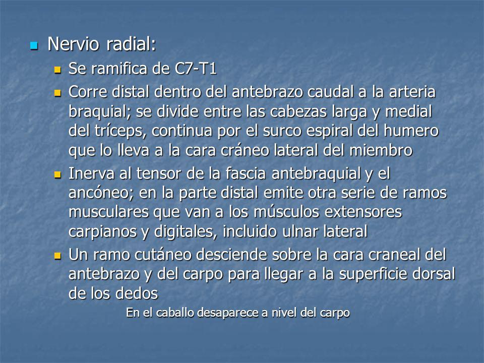 Nervio radial: Se ramifica de C7-T1