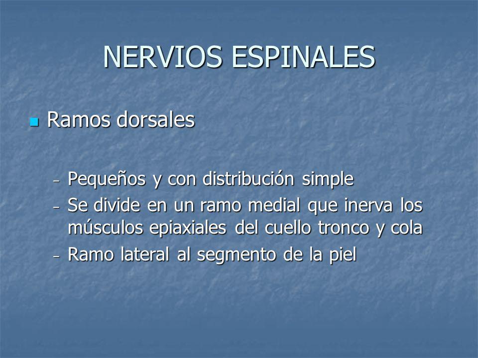 NERVIOS ESPINALES Ramos dorsales Pequeños y con distribución simple