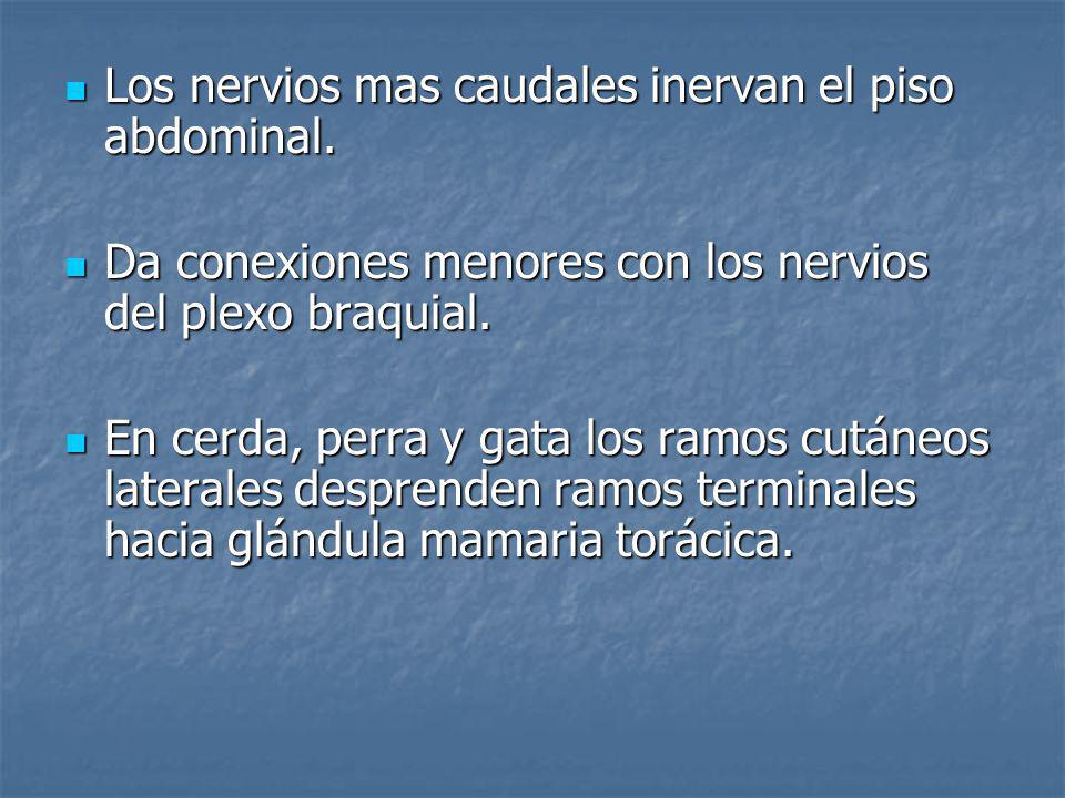 Los nervios mas caudales inervan el piso abdominal.