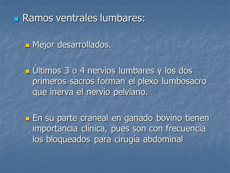 Ramos ventrales lumbares: