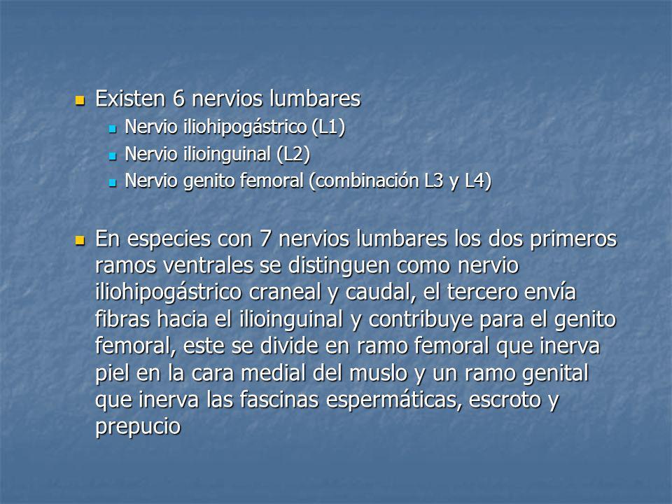 Existen 6 nervios lumbares