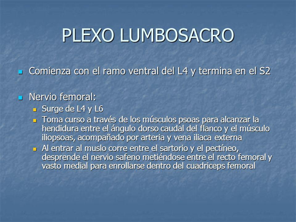 PLEXO LUMBOSACROComienza con el ramo ventral del L4 y termina en el S2. Nervio femoral: Surge de L4 y L6.