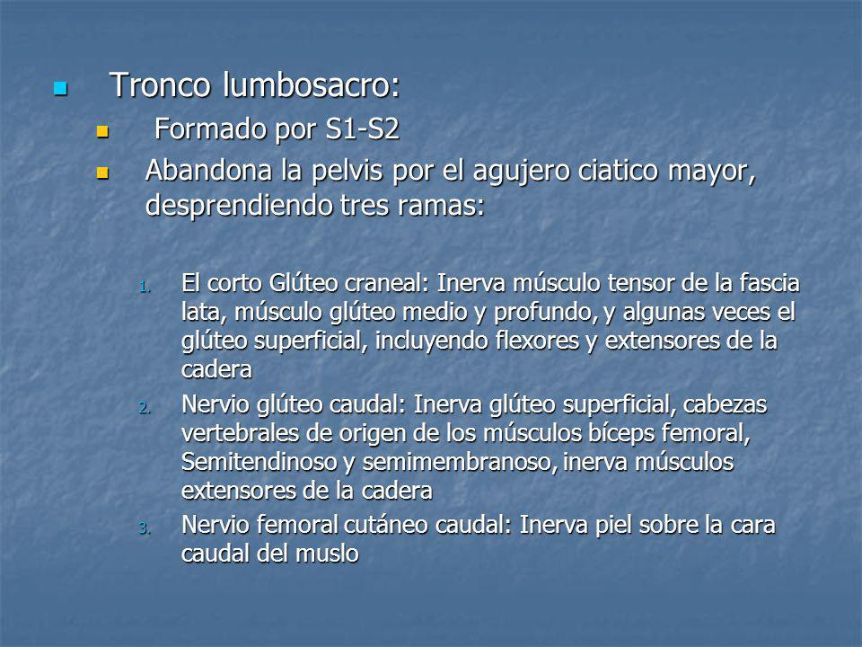 Tronco lumbosacro: Formado por S1-S2