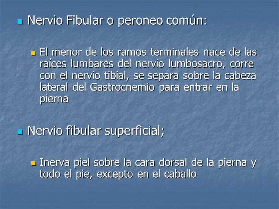 Nervio Fibular o peroneo común:
