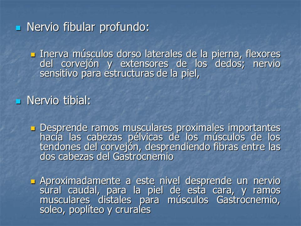 Nervio fibular profundo: