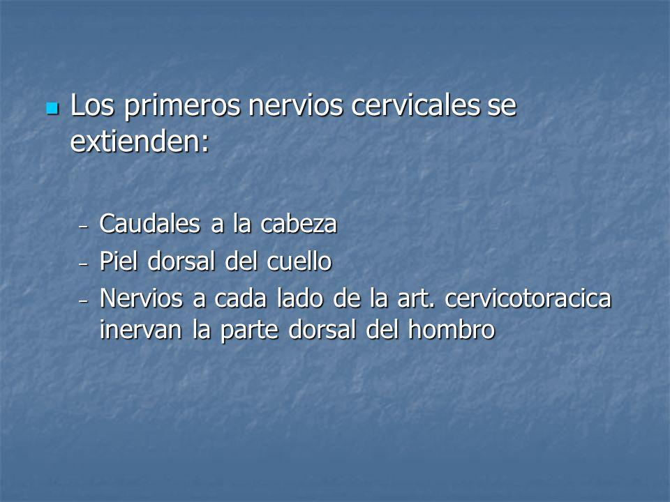 Los primeros nervios cervicales se extienden: