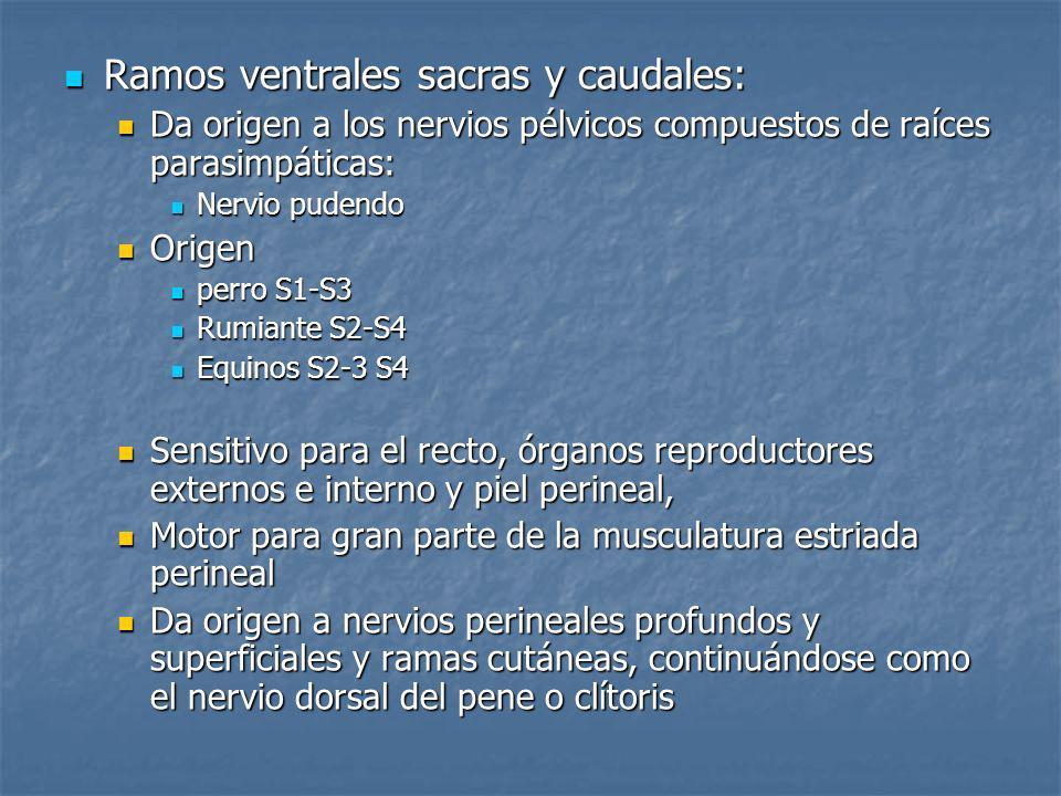 Ramos ventrales sacras y caudales: