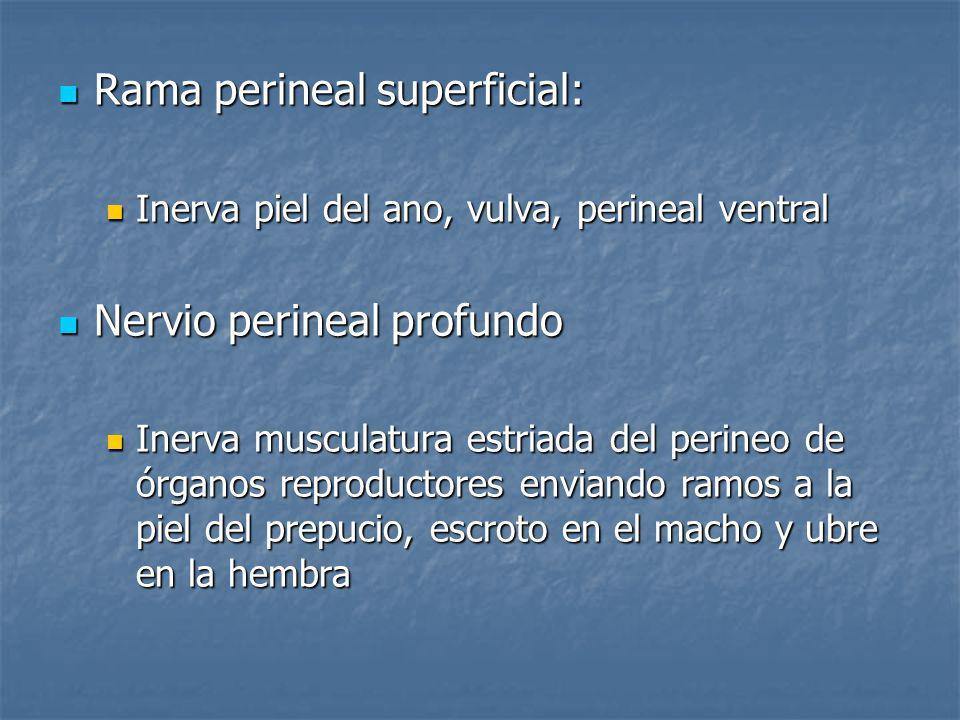Rama perineal superficial: